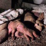 Une enquête dévoile les conditions d'élevages scandaleuses descochons tués pour le jambon de Parme en Italie