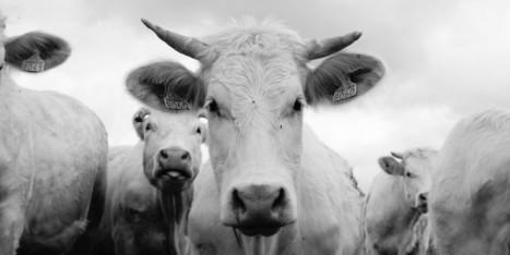 Viande, élevage : la prise de conscience de l'horreur!
