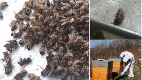 Vidéo d'abeilles à l'agonie : «elles sont empoisonnées par les pesticides»