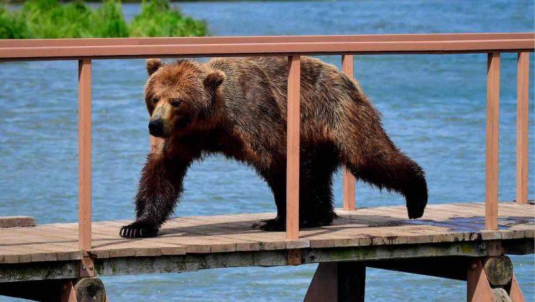 Affamés, des ours attaquent des villages dans l'Est de la Russie