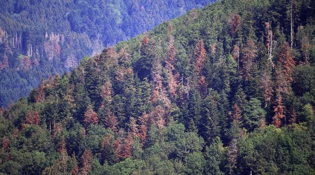Les sapins meurent de soif dans la forêt vosgienne