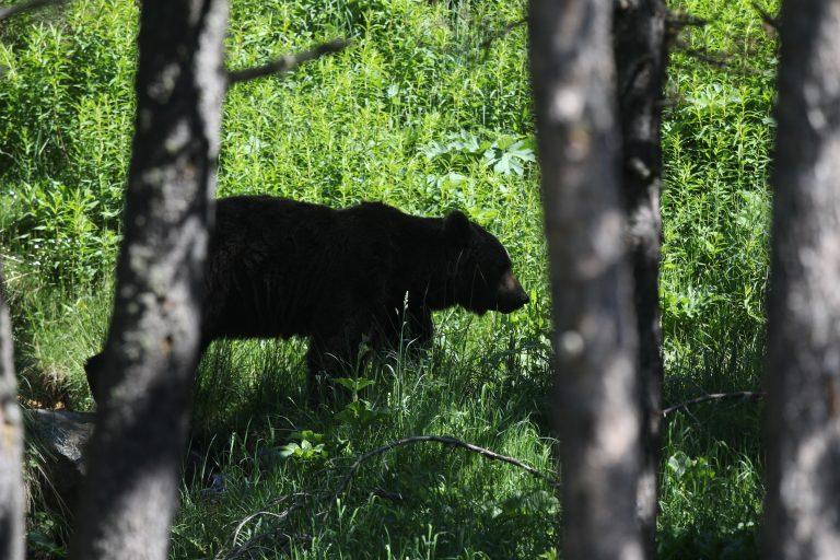 Pyrénées : les anti-ours menacent les randonneurs de balles perdues