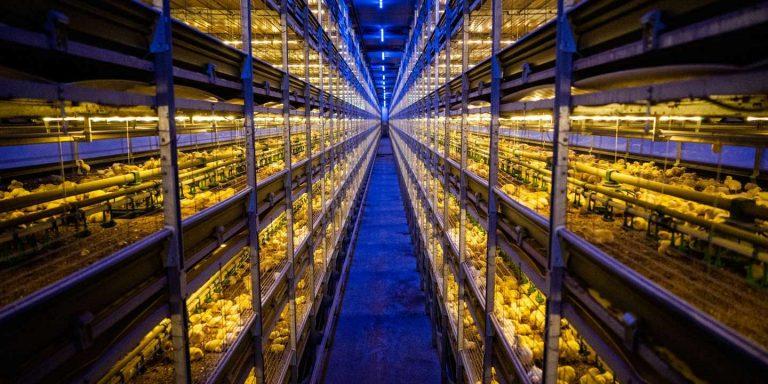 Aux Pays-Bas, le poulet élevé sur étagères à la conquête du monde