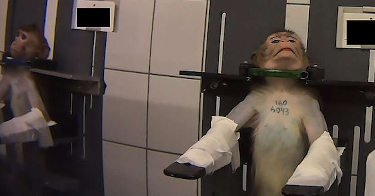 Expérimentation sur des animaux: la vidéo choc d'une association animaliste allemande