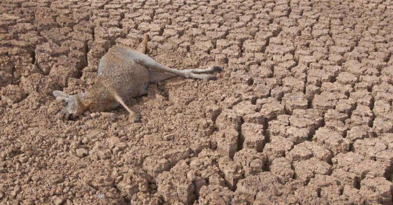 La sécheresse en Australie est si terrible qu'elle pousse les kangourous à devenir cannibales