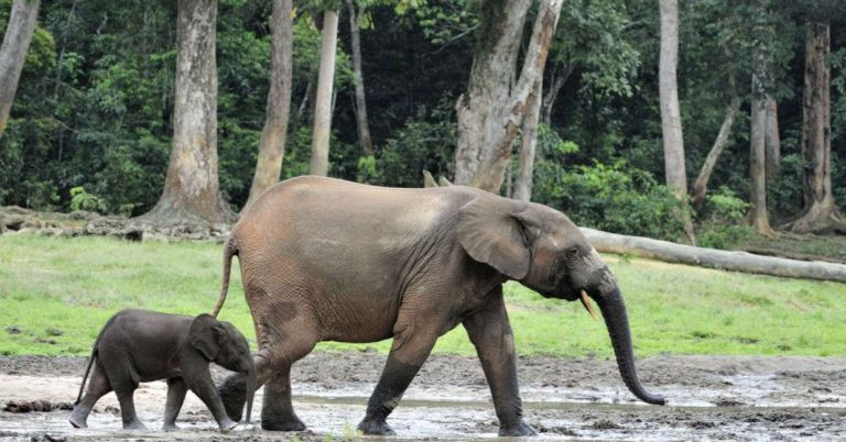 New AI Protecting Endangered Elephants in Africa – Goodnet
