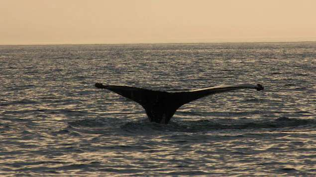 Une baleine capte plus de CO2 qu'un arbre | Dessine-moi un dimanche