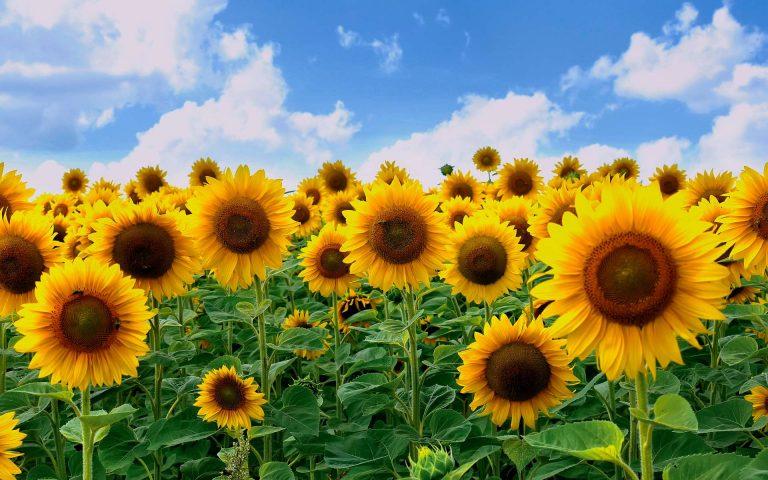 Des mini-tournesols qui s'orientent vers le soleil pour produire de l'énergie