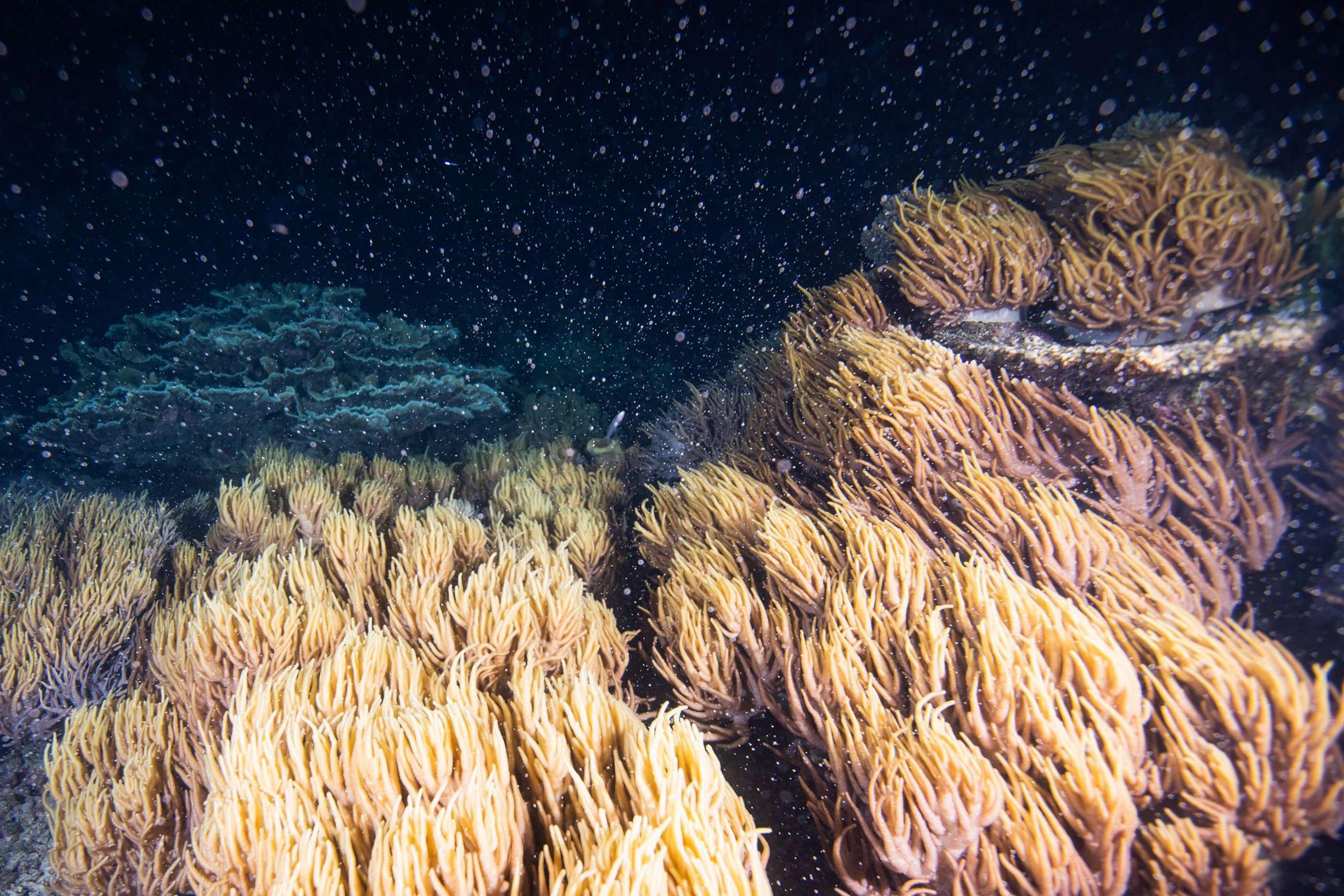 La période de reproduction de la grande barrière de corail a commencé