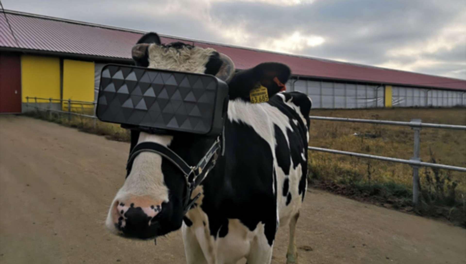 Pourquoi cette vache a-t-elle un casque de réalité virtuelle sur la tête ?