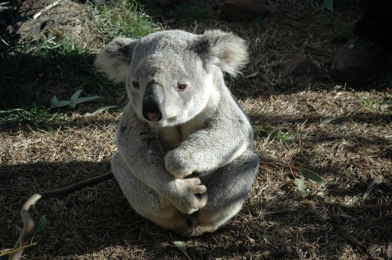 Australie : 480 millions d'animaux auraient péri dans les incendies