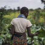 «En Afrique, les paysans qui pratiquent l'agroécologie résistent mieux au changement climatique»