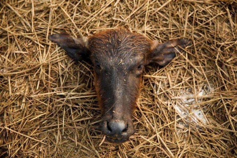 Hindouisme. Au Népal, une plainte contre l'État n'empêche pas le sacrifice de 10000 animaux