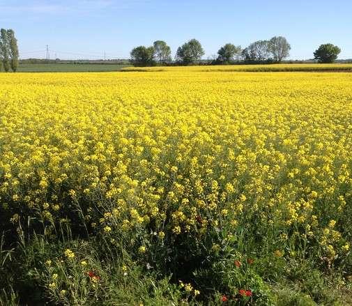 Plus d'abeilles, moins de pesticides, colza rentable