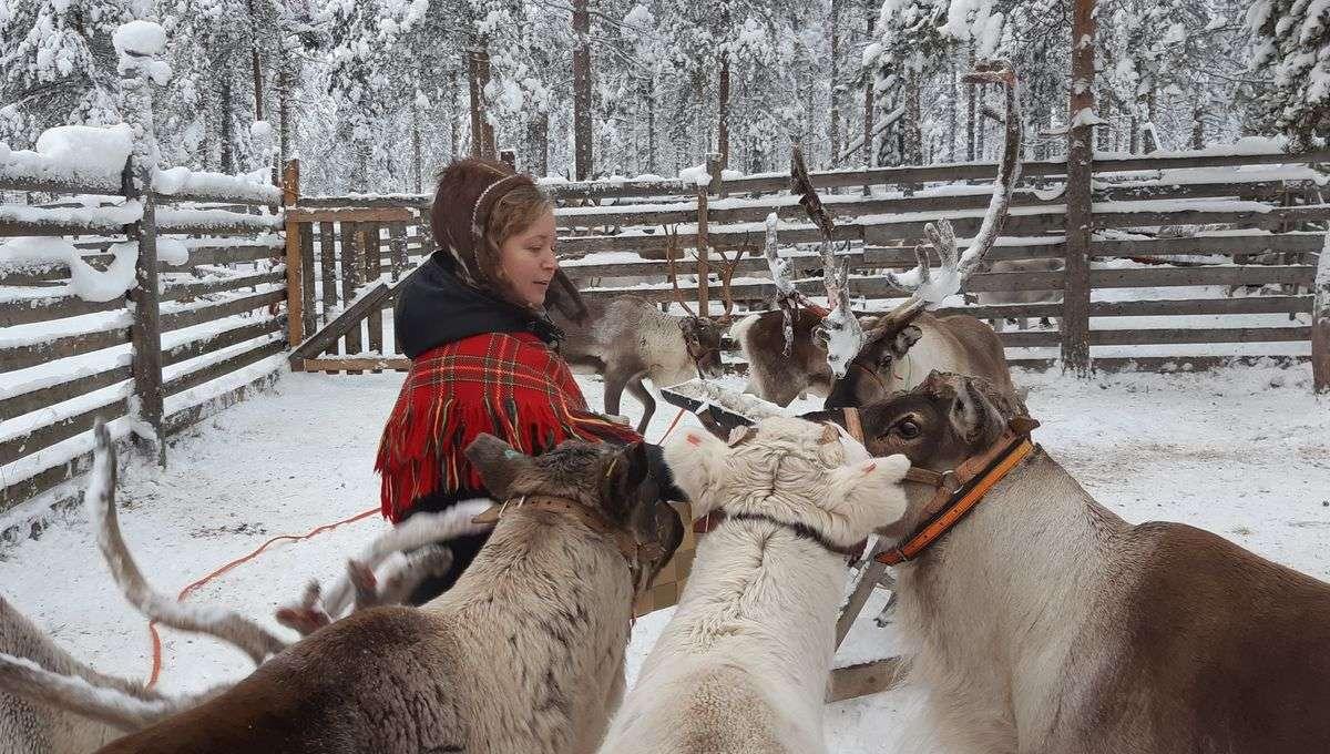 En Laponie, les rennes ne peuvent plus se nourrir seuls à cause du réchauffement climatique