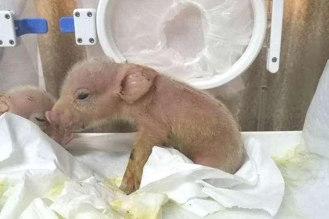 Ils ont fait naître deux hybrides porcs-singes