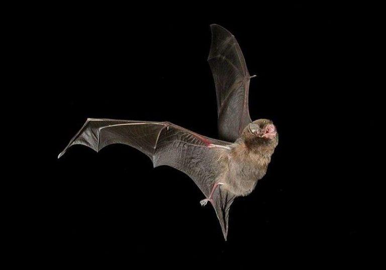 Les éoliennes sont à l'origine de la disparition d'au moins 250 000 chauves-souris par an en France