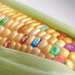 Un maïs capable de puiser son azote dans l'air !
