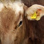 Se détacher du bétail pour lutter contre la crise climatique