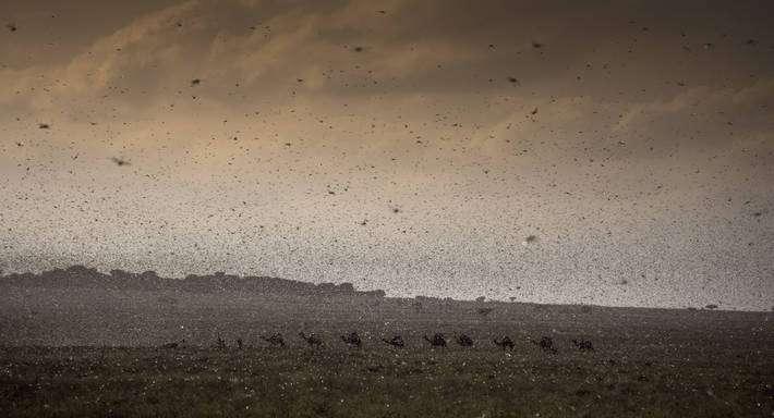 Afrique de l'Est : Il est nécessaire de lancer une campagne de grande ampleur et transfrontalière pour combattre les infestations de criquets