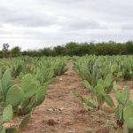 Le cactus pour contrer l'effet du changement climatique