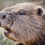 Royaume-Uni.Le castor sauvage fait ses preuves face aux inondations et à la pollution