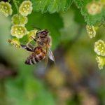 La surprenante étude qui montre que les abeilles pollinisent mieux en ville qu'à la campagne