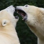 Affamés, les ours blancs s'entredévorent en Russie