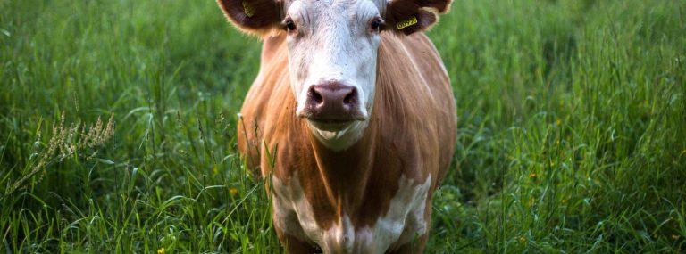 Quel avenir pour la viande ?