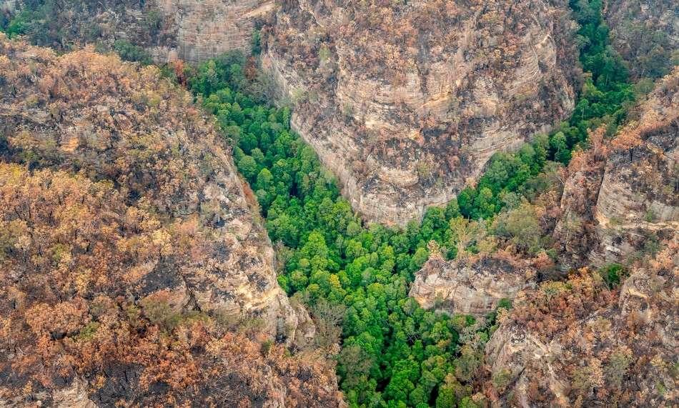 Une mission secrète a permis de sauver les derniers arbres préhistoriques australiens des feux de brousse