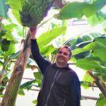 Var : Un producteur se lance dans la production de bananes en France, et ça marche
