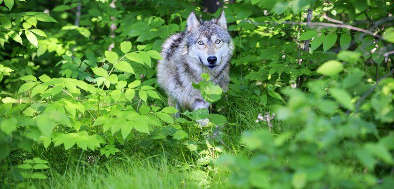 Nouvelle étude : les prédateurs naturels sont bien plus efficaces que les chasseurs dans l'équilibre des forêts