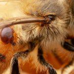 Des bactéries intestinales génétiquement modifiées pour sauver les abeilles