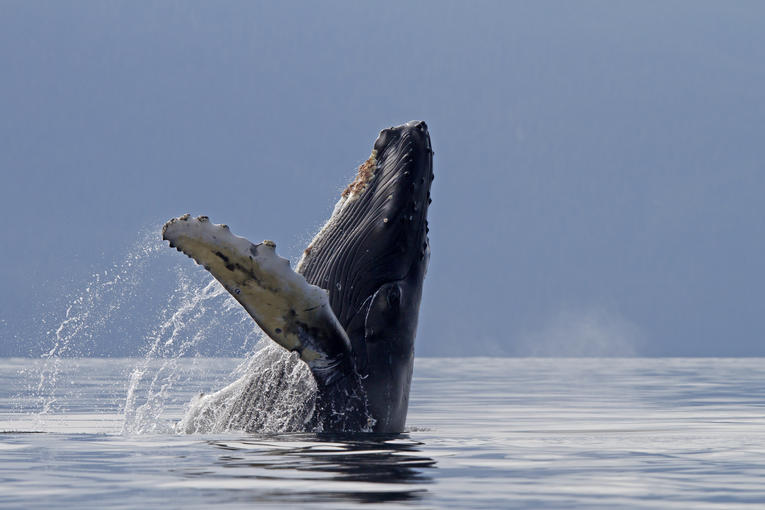 Feel-good.Le silence de l'océan provoqué par le confinement est une aubaine pour les baleines