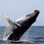 Les baleines à bosse montrent un rétablissement exceptionnel à travers le monde