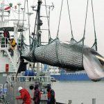 L'Islande pourrait mettre fin à la chasse à la baleine