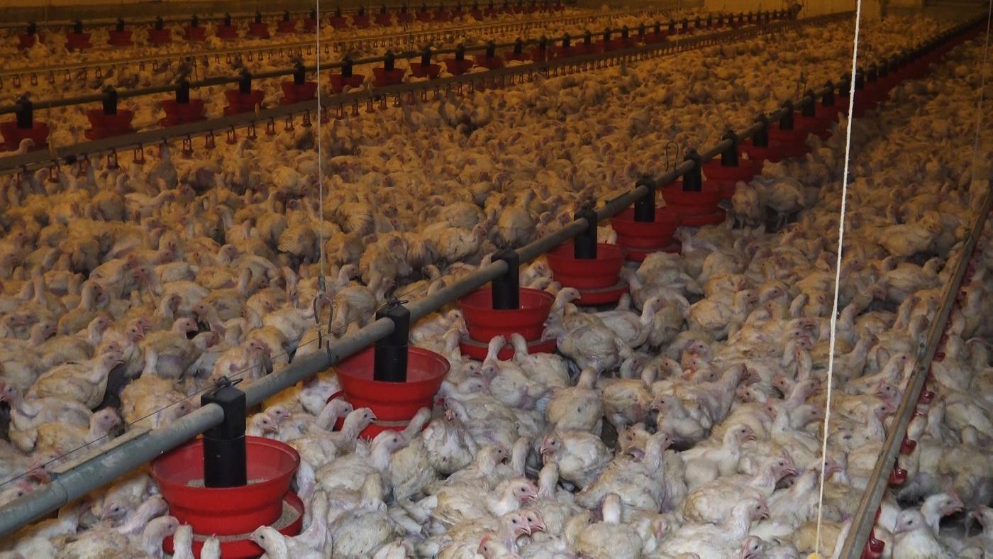 L'élevage intensif pourrait être le terreau des prochaines grandes pandémies