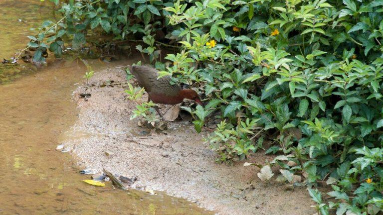 Comment cette espèce d'oiseau a pu renaître des milliers d'années après son extinction