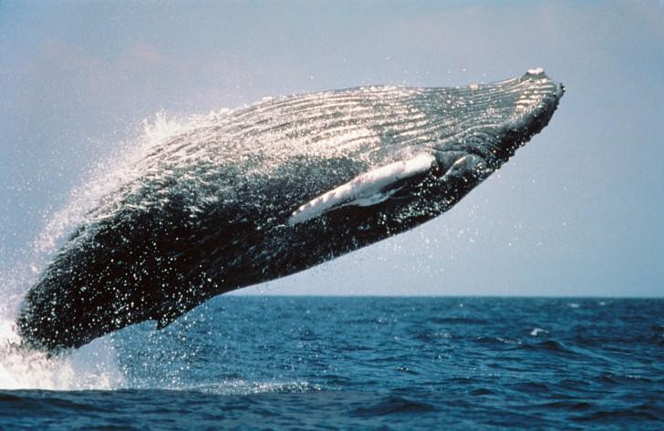 Le confinement mondial réduit la pollution sonore sous-marine : les baleines recommencent à «se parler»