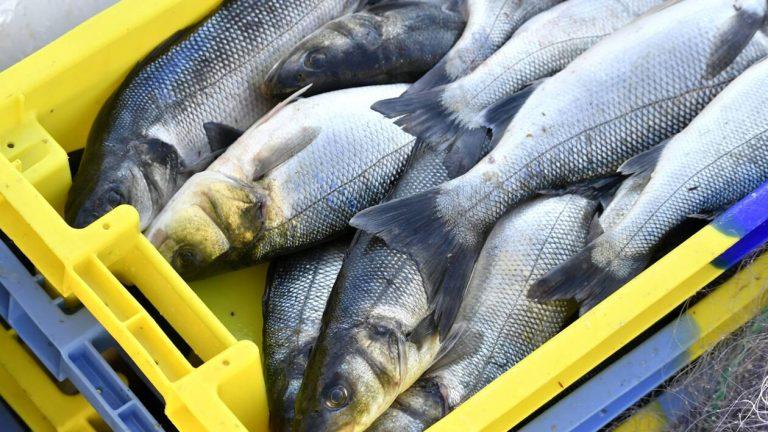 2,70 € le kilo de poisson : les pêcheurs boivent la tasse, la filière bretonne s'organise