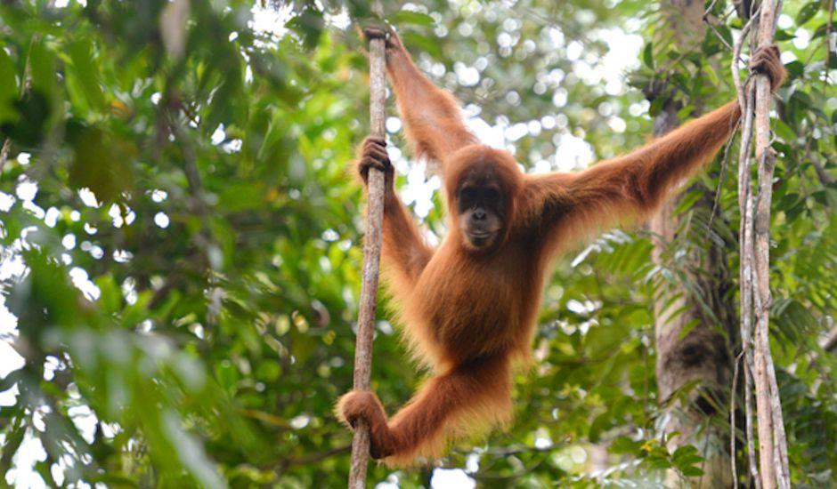 Le WWF se sert de l'IA pour sauver les orangs-outans en Indonésie
