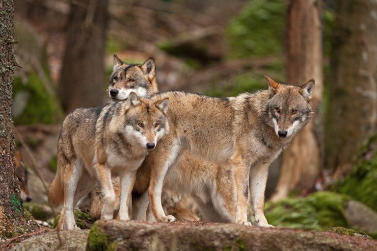 Désormais, les loups sont une espèce protégée même s'ils s'approchent d'une zone habitée