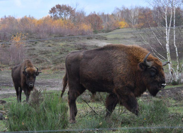 Nature.Le bison européen de retour au Royaume-Uni pour la première fois depuis six mille ans