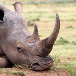 Bonne Nouvelle, le nombre de rhinocéros blancs à augmenté de 35 000% en 100 ans
