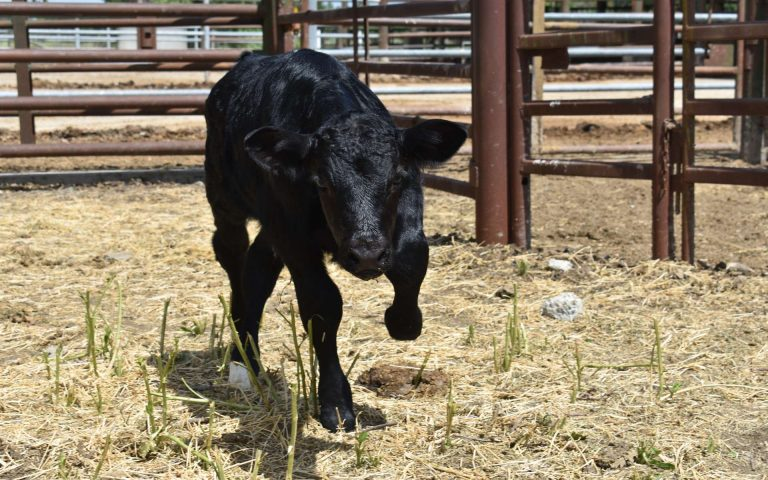 Ce veau génétiquement modifié transforme les femelles en mâles