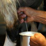 Santé.Un anticancéreux produit dans du lait de chèvres génétiquement modifiées
