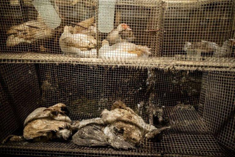 Souffrance animale : l'association L214 dénonce » l'horreur » dans un élevage de canards du Pays basque