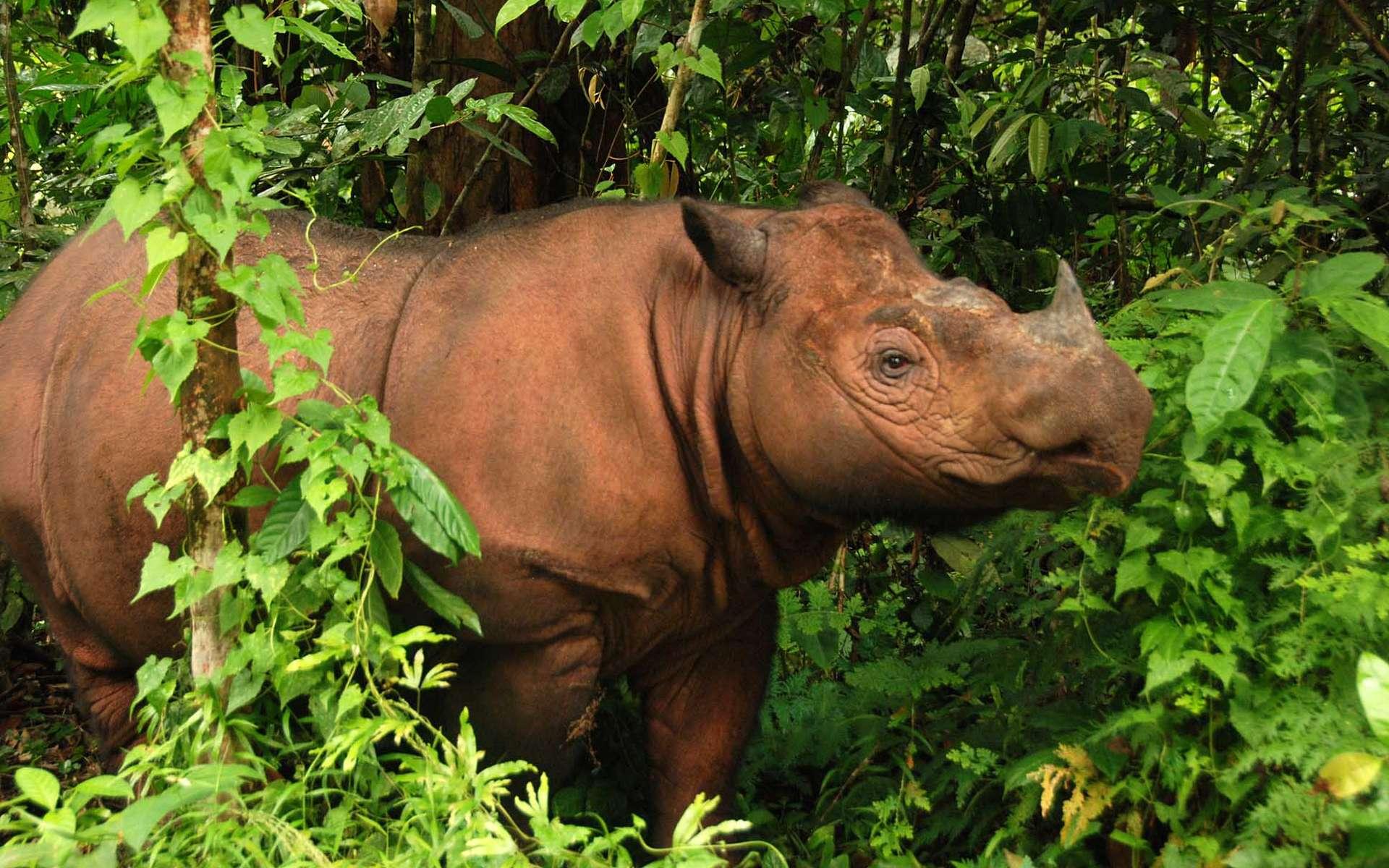 Les Malaisiens veulent ressusciter le rhinocéros de Sumatra