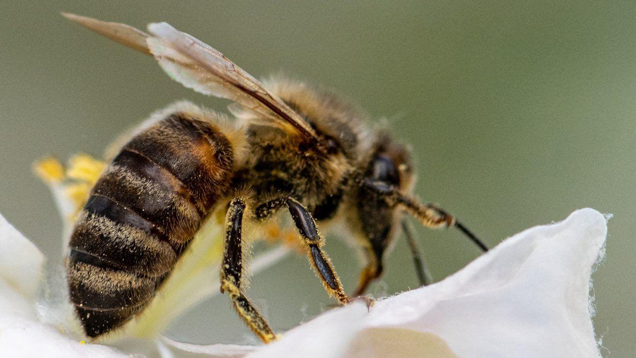 Des bulles de savon pollinisatrices : une alternative aux abeilles en voie d'extinction ?