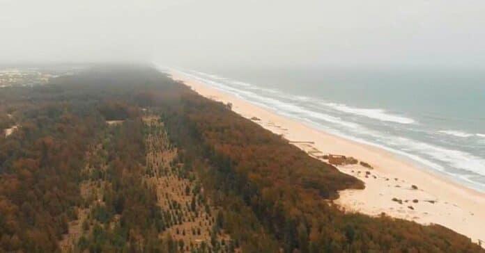 Pour stopper l'avancée de la mer, le Sénégal a érigé une gigantesque muraille d'arbres